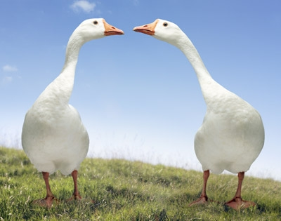 geese-mate-for-life-1